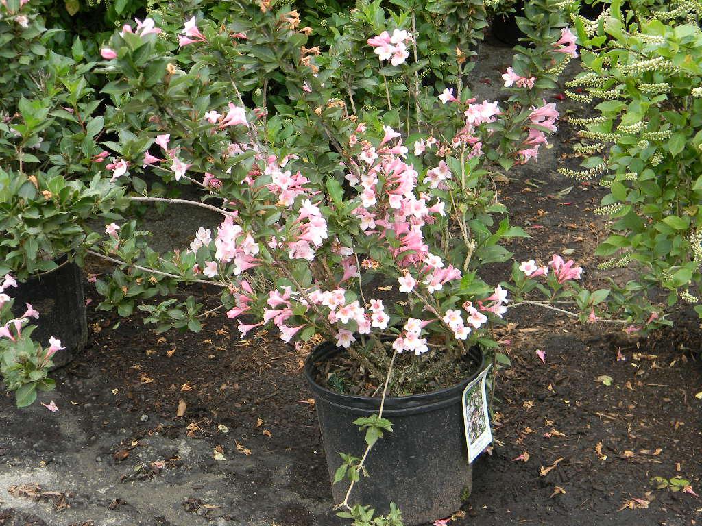 Flores y arbustos sanos y hermosos: JubileeScape